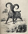 A ram, possibly of the blue or Burrhel sheep, with long curv Wellcome V0021556.jpg
