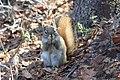 A red squirrel munching on spruce cones (2b7925b1-1399-47f8-841b-7a2975817e2c).jpg