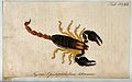 A scorpion; Opistophthalmus latimanus. Coloured engraving. Wellcome V0022416.jpg