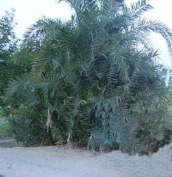 A tree in desert.jpg