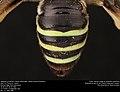 Abdomen of Norton's Nomia (Halictidae, Nomia nortoni (Cresson)) (36284286262).jpg