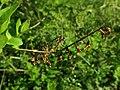 Abeliophyllum distichum 2019-04-16 0003.jpg