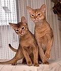 gatos abisinios