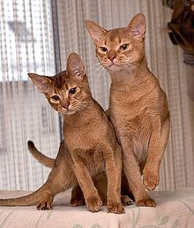 Photograph of two Abyssinian cats. One cat has chocolate brown ticking, while the other has the more usual sorrel (cinnamon or red) ticking