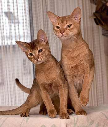 A six-month old Chocolate Abyssinian (left) wi...