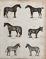Above, an arabian horse, a race horse, a draft horse and an Wellcome V0020667ER.jpg
