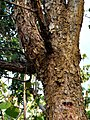 Acac toment 121113-0363 blor.JPG