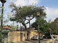 Acacia (Faidherbia) albida in Tel Aviv.JPG