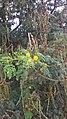 Acacia constricta.jpg
