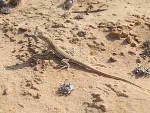 Acanthodactylus - Acanthodactylus scutellatus