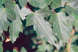 Acer ginnala foliage.jpg