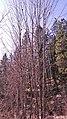 Acer macrophyllum 3.jpg