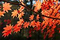 Acer palmatum - Flickr - odako1 (4).jpg