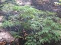 Acer palmatun 'Garnest' 01.jpg