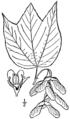 Acer pensylvanicum BB-1913.png