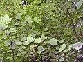 Acer rubrum 11zz.jpg