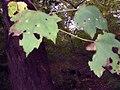 Acer rubrum 12zz.jpg