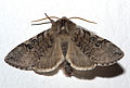 Achlya flavicornis02.jpg
