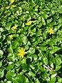 Achtblättrige gelbe Blüten.JPG