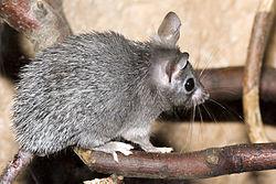 Un rat épineux du Caire, ou souris épineuse d'Égypte