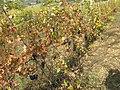Acqui Terme (Italy) (23342400454).jpg