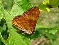 Adelpha salmoneus. Sister. Tribe Limenitidini - Flickr - gailhampshire.jpg