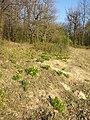 Adonis vernalis sl72.jpg