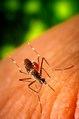 Aedes aegypti CDC9185.tif