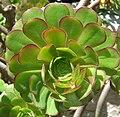Aeonium arboreum (3).jpg
