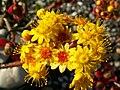 Aeonium spathulatum PICT0528.jpg