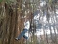 Aerial root YVSREDDY.jpg