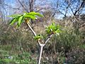 Aesculus californica-3.jpg