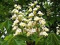 Aesculus hippocastanum-01.jpg