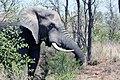 African Elephant (38101389386).jpg