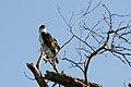 African Hawk-eagle 2406375378.jpg