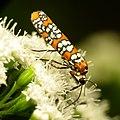 Ailanthus Webworm Moth (31788882266).jpg