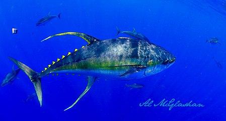 Al mcglashan tuna.jpg