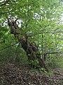 Albero secolare in contrada Pianelli di Renzo - panoramio.jpg