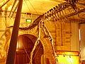 Albertosaurus pelvis NHM.JPG