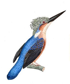 Madagaskarzwergfischer (Alcedo vintsioides)
