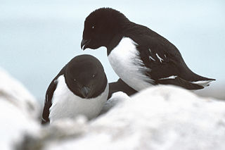 Little auk Species of bird