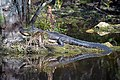 Alligator mirror wagon wheel road big cypress preserve (15731273553).jpg