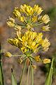 Allium moly JdP 2013-06-14.jpg