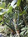 Alocasiamacrorrhiza1web.jpg