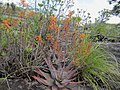 Aloe chabaudii - orange flowers (7708630634).jpg
