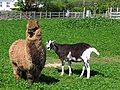 Alpaca and goat, Stroove - geograph.org.uk - 1872475.jpg