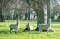 Alpacas at Monks Park - geograph.org.uk - 765582.jpg