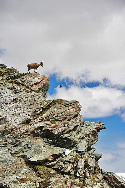 File:Alpine Ibex in Gornergrat.JPG
