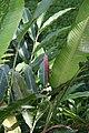 Alpinia purpurata 40zz.jpg