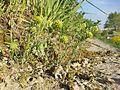 Alyssum alyssoides sl9.jpg